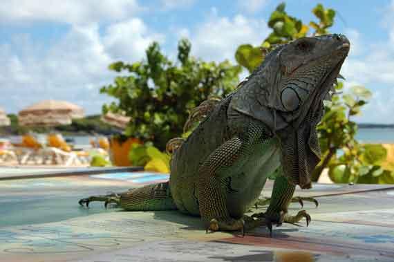 Karibik-Insel St Martin / St Maarten Leguane (Kleine Antillen) ( Urlaub, Reisen, Lastminute-Reisen, Pauschalreisen )