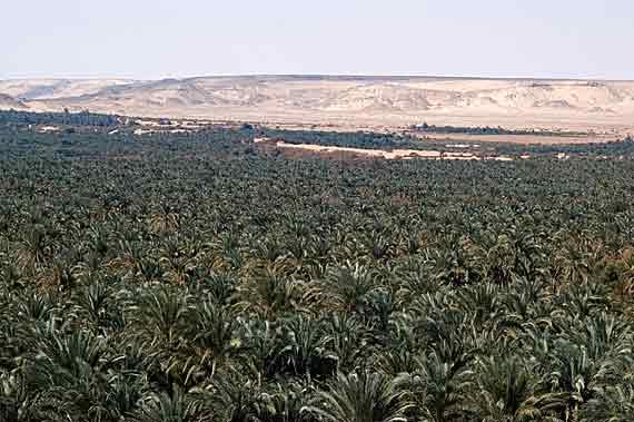 Palmenhaine in Oase Bahariya, Ägypten ( Urlaub, Reisen, Lastminute-Reisen, Pauschalreisen )