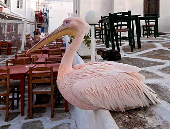 Griechische Inseln, Mykonos - das Maskottchen der Insel ist der Pelikan ( Urlaub, Reisen, Lastminute-Reisen, Pauschalreisen )