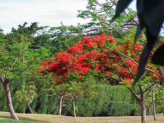 Indischer Ozean, Mauritius - Flamboyant oder Flammenbaum ( Urlaub, Reisen, Lastminute-Reisen, Pauschalreisen )