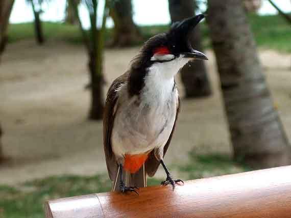Indischer Ozean, Mauritius - Vogelbesuch im Hotel ( Urlaub, Reisen, Lastminute-Reisen, Pauschalreisen )
