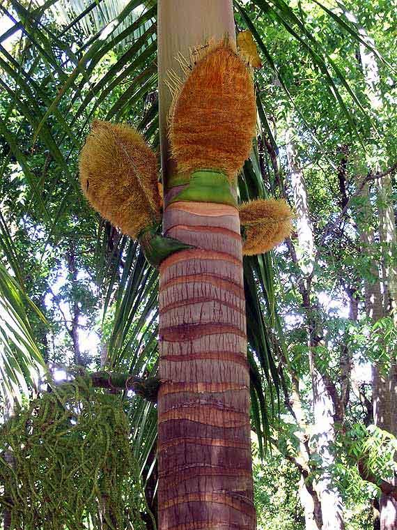 Indischer Ozean, Mauritius - Bummel durch den Garten Pampelmousses ( Urlaub, Reisen, Lastminute-Reisen, Pauschalreisen )