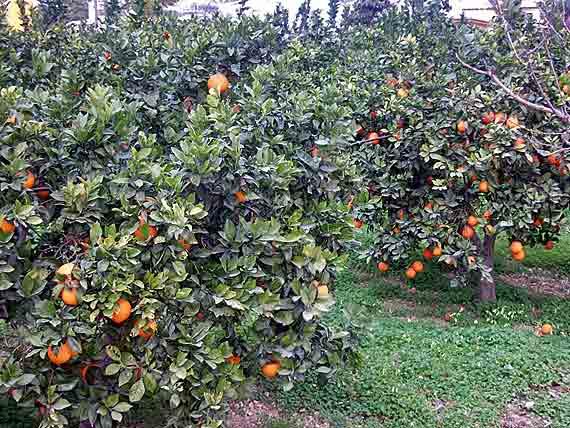 Apfelsinen auf Mallorca ( Urlaub, Reisen, Lastminute-Reisen, Pauschalreisen )
