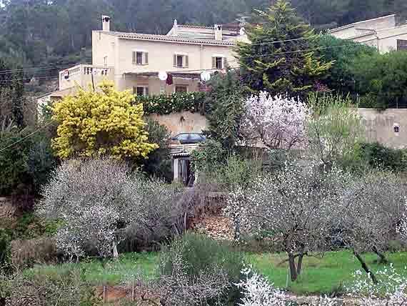 Mandelblühte auf Mallorca ( Urlaub, Reisen, Lastminute-Reisen, Pauschalreisen )