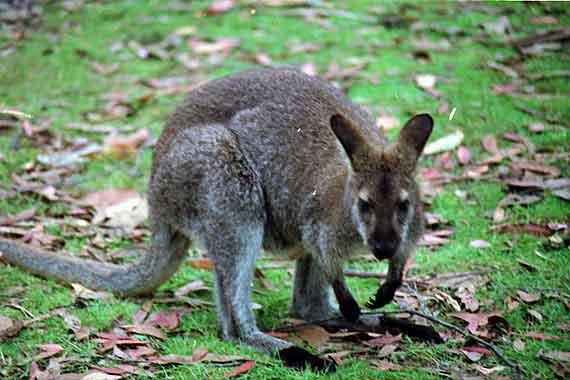 Australien - Känguru ( Urlaub, Reisen, Lastminute-Reisen, Pauschalreisen )
