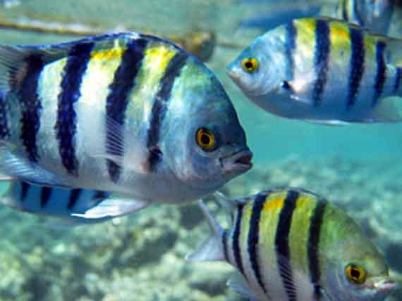 Ägypten, Hurghada - Rudderfish im Roten Meer ( Urlaub, Reisen, Lastminute-Reisen, Pauschalreisen )
