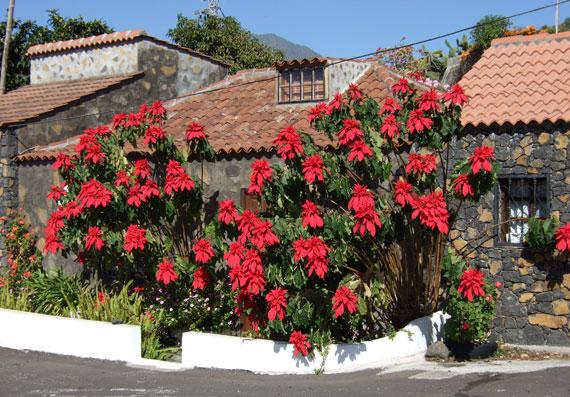 Kanaren, La Palma - Weihnachtsstern ( Urlaub, Reisen, Lastminute-Reisen, Pauschalreisen )