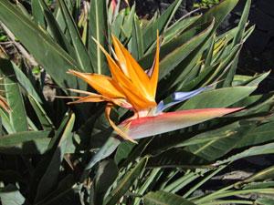 Kanaren, La Palma - Strelitzie ( Urlaub, Reisen, Lastminute-Reisen, Pauschalreisen )