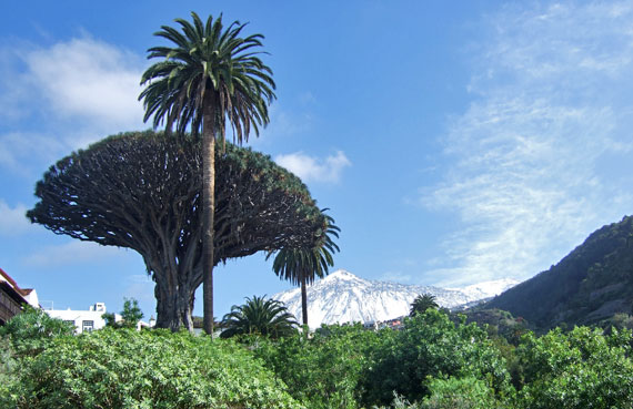 Teneriffa, Icod de los Vinos  - ältester Drachenbaum, Teide im Hintergrund ( Urlaub, Reisen, Lastminute-Reisen, Pauschalreisen )