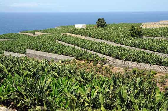 Teneriffa - Bananenplantage ( Urlaub, Reisen, Lastminute-Reisen, Pauschalreisen )