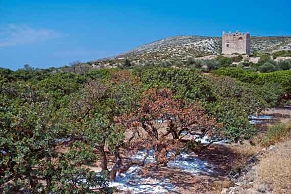 Griechische Insel Chios (Nordostägäische-Inseln) - Mastixbäume ( Urlaub, Reisen, Lastminute-Reisen, Pauschalreisen )