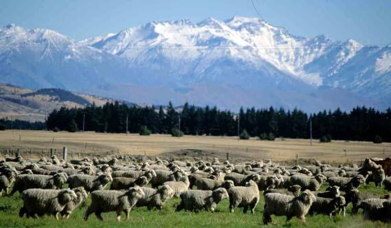 Neuseeland, Schafe auf der Südinsel ( Urlaub, Reisen, Lastminute-Reisen, Pauschalreisen )