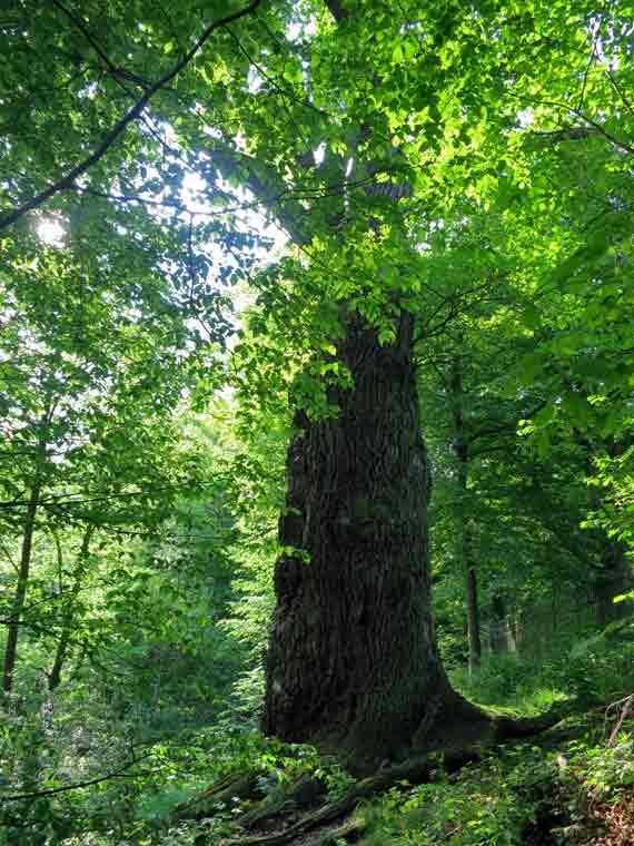 1000jährige Eiche in Nagel - Ortsteil von Küps im Landkreis Kronach, Frankenwald, Bayern