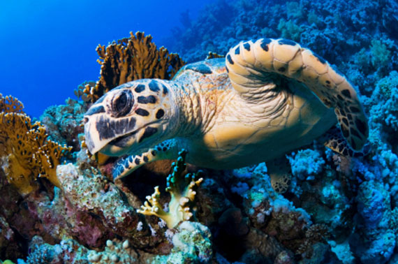 Meeresschildkröte im Roten Meer, Ägypten ( Urlaub, Reisen, Lastminute-Reisen, Pauschalreisen )