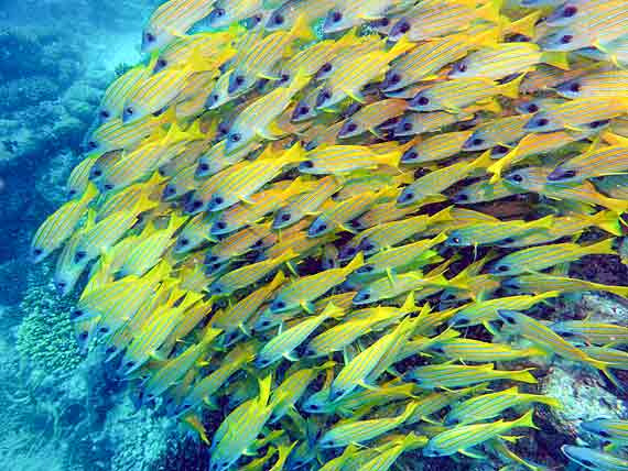 Ägypten, Rotes Meer, Fischschwarm am Korallenriff ( Urlaub, Reisen, Lastminute-Reisen, Pauschalreisen )