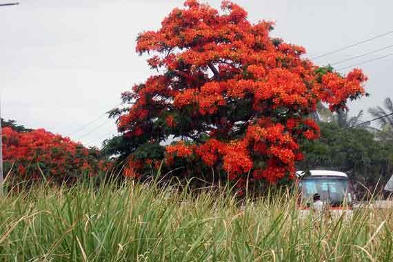 Indischer Ozean, Mauritius - grosser Flamboyant oder Flammenbaum ( Urlaub, Reisen, Lastminute-Reisen, Pauschalreisen )