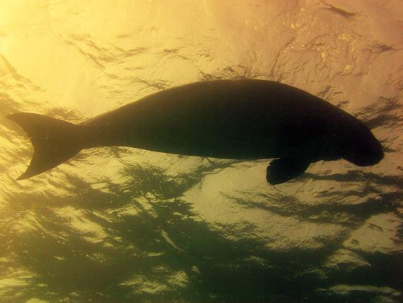 Dugong (Seekuh) in der Bucht Marsa-Assalaya, Rotes Meer, Ägypten (Urlaub, Reisen, Lastminute-Reisen, Pauschalreisen)