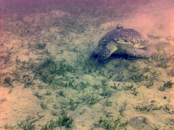 Karettschildkröte in der Bucht Marsa Eagle, Rotes Meer, Ägypten (Urlaub, Reisen, Lastminute-Reisen, Pauschalreisen)